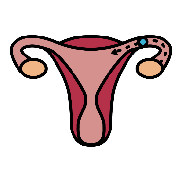An image showing ovulation